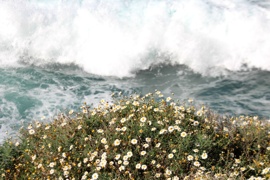 Daisies and Waves