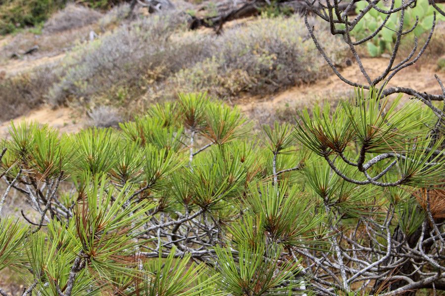 Guy-Fleming-Trail-Pine-Close-Up