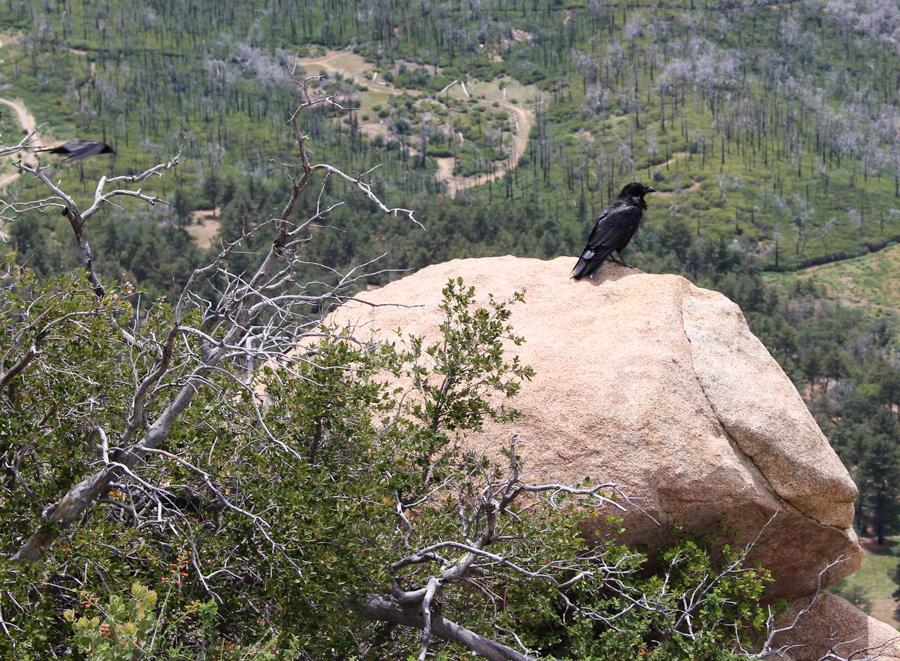 Blackbird on Stonewall Trail