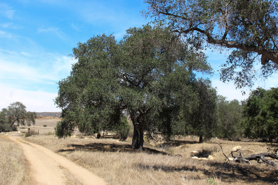 Hollenbeck-Canyon-Tree