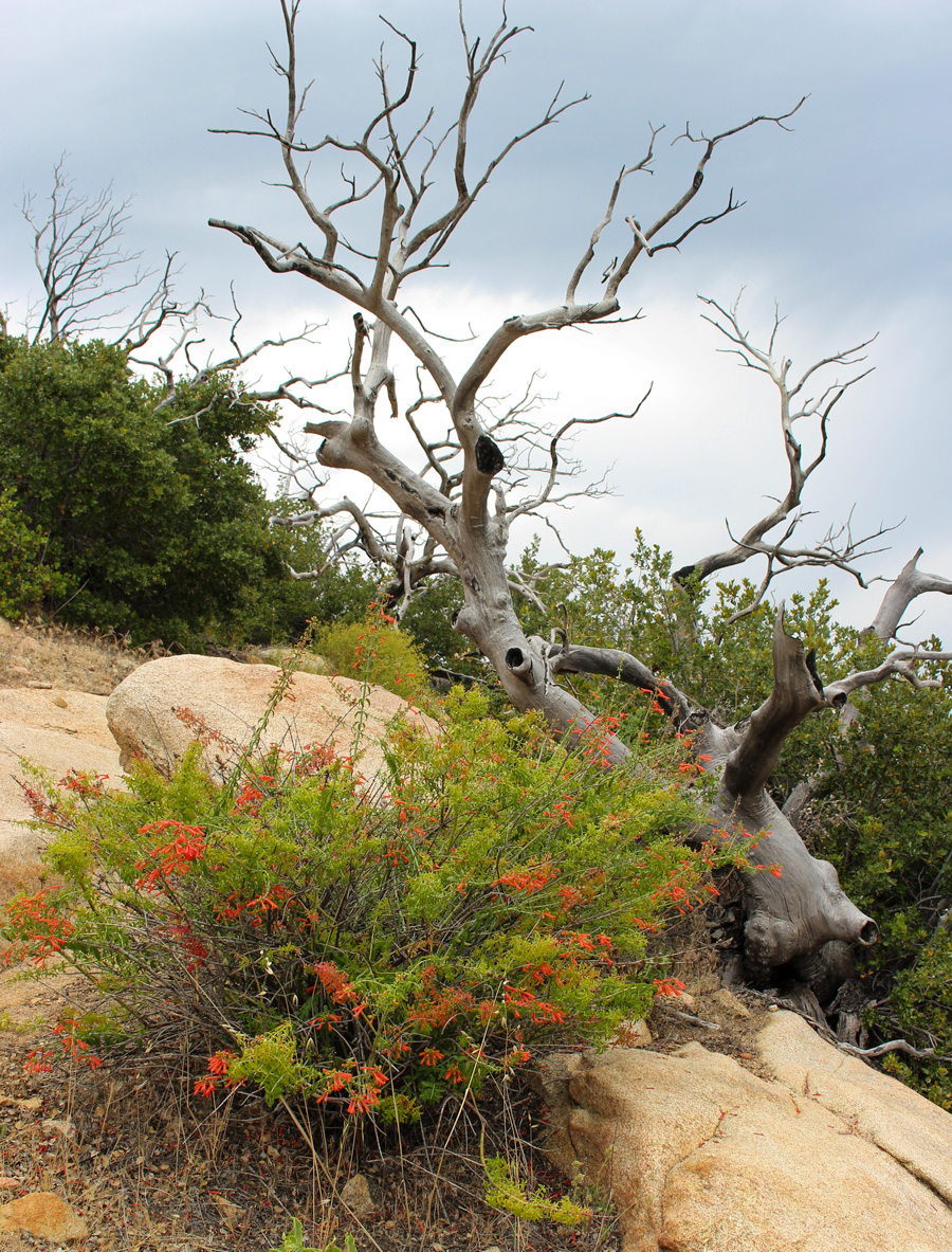 Tree-+-Red-flowers-at-Cuyamaca-Rancho-Park