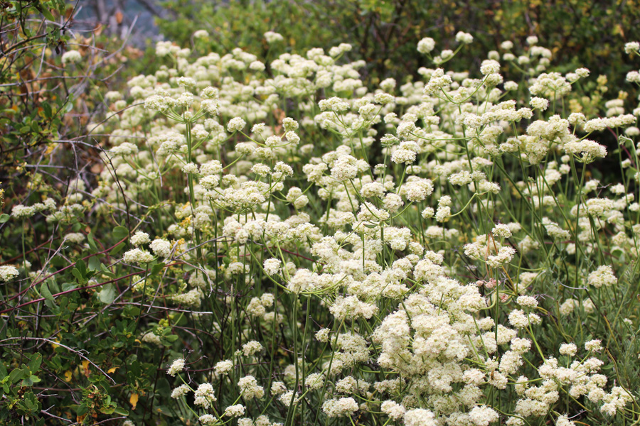 White Flowers along Stonewall Peak Trail