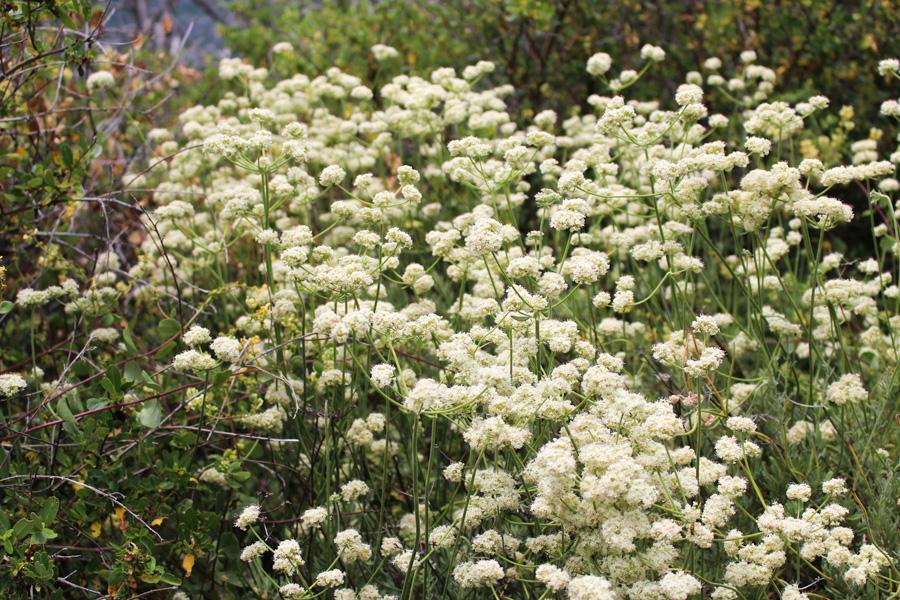 White Flowers along Stonewall Peak Trail