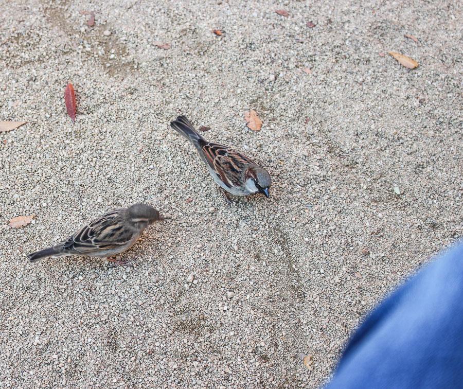 Bouchon birds