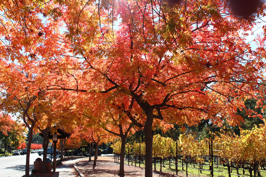 Fall in Yountville